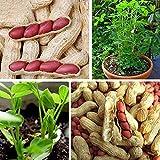 Semillas de flores semillas planta 40pcs / bolsa piel roja semillas de cacahuete neutrales no OMG fresco Georgic Natural Arachis Semillas para semillas de plantas de jardín para el hogar - Semilla