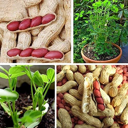 Semi di arachidi di pelle rossa neutra, non OGM, freschi georgici, naturali di arachis, per giardino, semi di fiori, semi di verdura, semi di frutta, semi di piante da giardino, semi di piante, semi