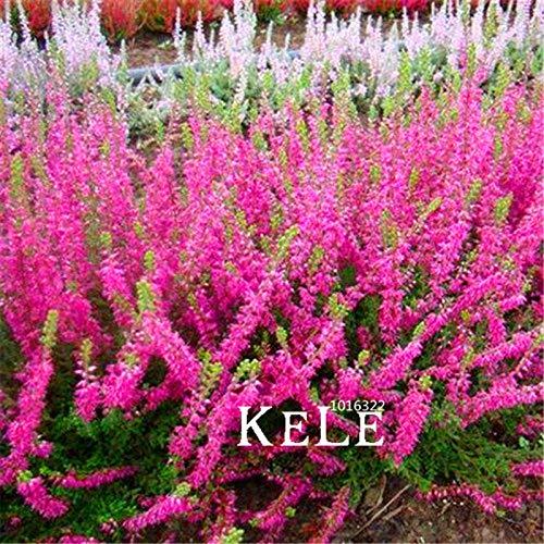 Ferry 100 PC/Los Heather Bodenbewuchs Pflanzen (Calluna Vulgaris) leicht DIY Hausgarten Blume Bonsai wachsen