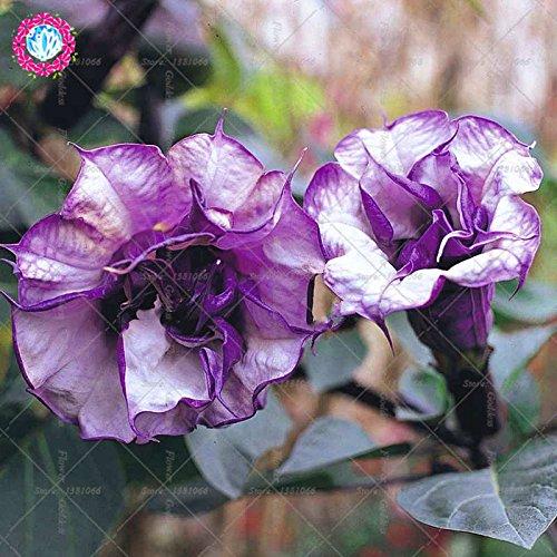 50PCS Datura Fleur Bonsai Graines Gardenia Facile Cultivating vivaces plantes en fleurs pour la maison Balcon Jardin Cour 1
