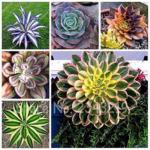 Bloom Green Co. 100 Pcs/Sac Aloe Cacti Agave graines, plantes succulentes rares Bonsai Graines Agave-Americana Agave Plantes en pot pour jardin: mixtes