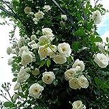 TOYHEART 100 Piezas De Semillas De Flores Premium, Semillas De Rosas Trepadoras, Cultivos De Colores Brillantes De Crecimiento Rápido, Semillas De Plantas De Jardín para Jardín Blanco Semilla