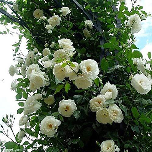 TOYHEART Semi di Fiori Premium da 100 Pezzi, Semi di Rosa Rampicante Colture A Crescita Rapida dai Colori Vivaci Piante da Giardino Semi per Cortile Bianca Semi di Rosa