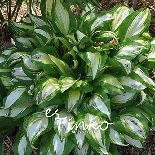Hostas Plants Amazonca