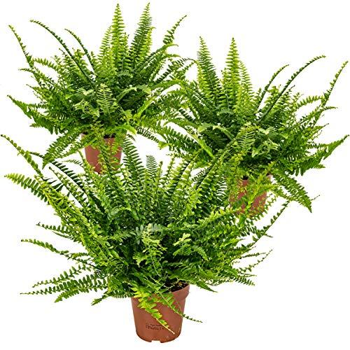 Lockiger Farn | Nephrolepis pro 3 Stück - Luftreinigende Zimmerpflanze im Aufzuchttopf ⌀12 cm - 40 cm