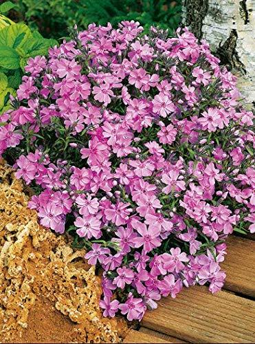Qulista Samenhaus - 30pcs Rarität Teppichphlox 'Emerald Pink' Bodendecker | immergrün Polsterphlox Flammenblume Blumensamen mehrjährig Winterhart für den Steine und Mauern