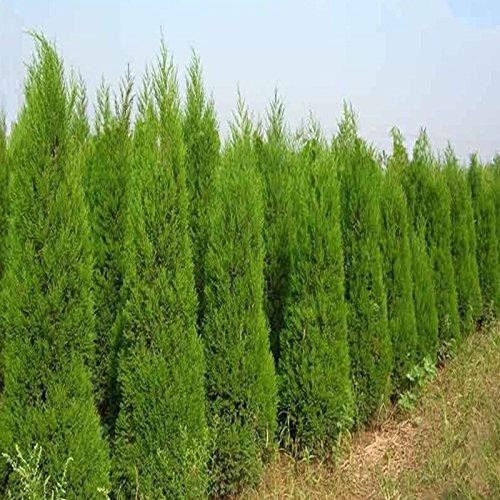 Cipreses Seeds 50 Pcs raras semillas verdes Platycladus orientalis orientales de Tuya conífera Semillas del jardín de DIY aire fresco 5