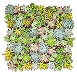 Altman Plants - Live Succulent Plants (64 Pack) Assorted Potted Succulents Plants Live House Plants in Cacti and Succulent Soil Mix - Cactus Plants Live Indoor Plants Live Houseplants in Planter Pots