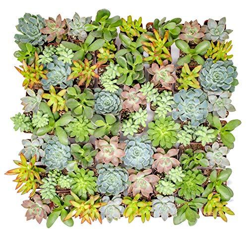 Altman Plants – Live Succulent Plants (64 Pack) Assorted Potted Succulents Plants Live House Plants in Cacti and Succulent Soil Mix – Cactus Plants Live Indoor Plants Live Houseplants in Planter Pots