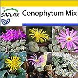 SAFLAX - Anzucht Set - Sukkulenten - Blühende Steine/Conophytum Mix - 40 Samen - Mit Mini-Gewächshaus, Anzuchtsubstrat und 2 Töpfen - Conophytum Mix