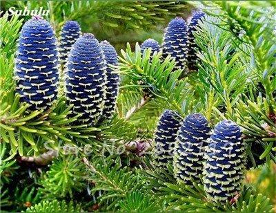 Abies Samen, koreanische Tanne, Nordmannstanne (Weihnachtsbaum, Conifer) Samen Baum. Haus-Garten Bonsaipflanzen und Blumen-Samen 100 PC-10