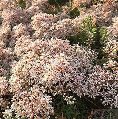 Niedriger Weißer Mauerpfeffer Coral...