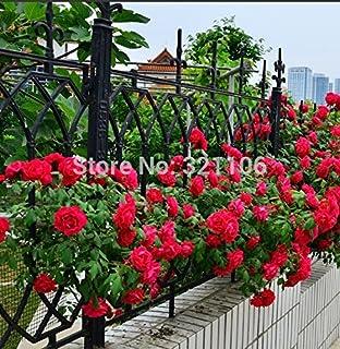 comprar comparacion 100 rojas rosales trepadores Semillas, de la herencia, magnífico, jardín de flores de bricolaje en casa, el patio olla