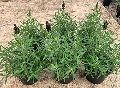 Lavanda Pack 6 Plantas - Planta Aromática - Planta Natural - Planta Viva - Maceta 12 cm ø (Lavandula Stoechas) 36