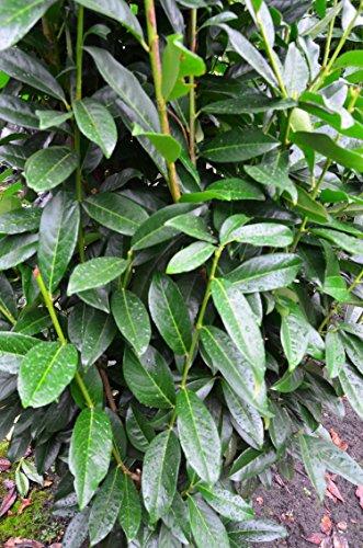 immergrüner Kirschlorbeer Prunus laurocerasus Genolia -R- 100-125 cm hoch im 7,5 Liter Pflanzcontainer