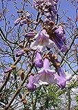 TROPICA - Blauglockenbaum (Paulownia tomentosa) - 200...