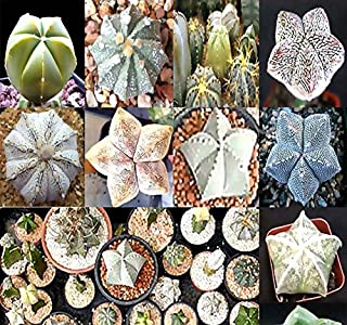 10 x Astrophytum Hybrids Cactus Succulent Seeds - Sand Dollar Cactus, Sea Urchin Cactus - Gorgeous Patterns and Markings - Fresh Cactus Seeds - by MySeeds.Co (Astro. Hybrid - Pkt. Size)