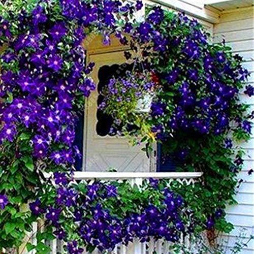 lamta1k Clematis Samen, 100 Stücke Clematis Klettern Reben Samen Blume Pflanze Home Office Ornament Dekoration Dark Purple