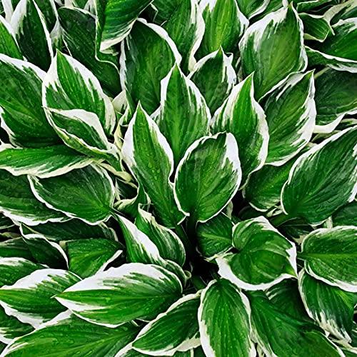 自家土壌栽培植物,切り花,観賞植物,今すぐ植える,小さくて繊細な花,家の装飾,緑化,ギボウシ球根-15 球根