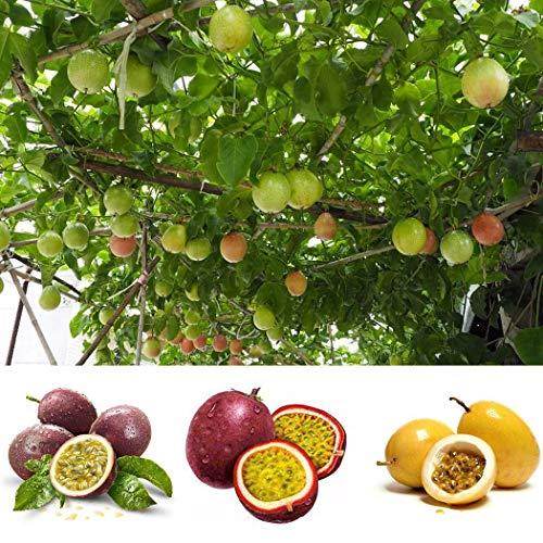 SummerRio 20 Stücke Passionsfrucht Samen Entzückende Blumen wohlriechende Samen wohlriechende Blüte