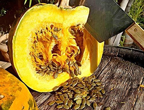 50 Steirischer Ölkürbis Samen, Cucurbita pepo var. styriaca, für leckeres Kürbiskernöl