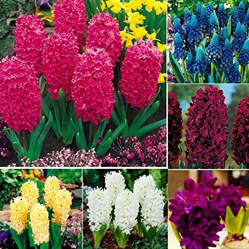 Soteer Garten - Hyazinthen Samen– die Königin der Frühlingsblumen Samen Traubenhyazinthe Farben Mischung für Barkon, Garten usw.