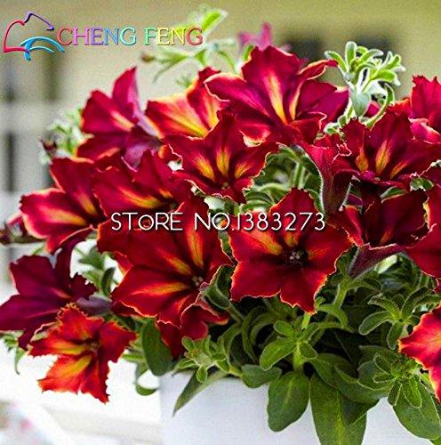 En vente !!! arc Mandevilla Seeds belles graines de fleurs de l'usine en herbe Taux 95% Garden pour le cadeau Enfants