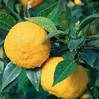 ゆずの苗木 品種:花柚子【品種で選べる果樹苗木 2年生 接木苗 15cmポット 平均樹高:約70cm/1個】(ポット植えなのでほぼ年中植付け可能)一才柚子(いっさいゆず)とも呼ばれ、本柚子と比べて実付きが良く、1年目で実がなりやすい品種です。 ...