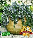 BALDUR Garten Hänge-Rosmarin 'Capri', 3 Pflanzen Rosmarinus winterhart Hängepflanze