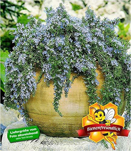 BALDUR-Garten Hänge-Rosmarin 'Capri', 3 Pflanzen Rosmarinus winterhart Hängepflanze