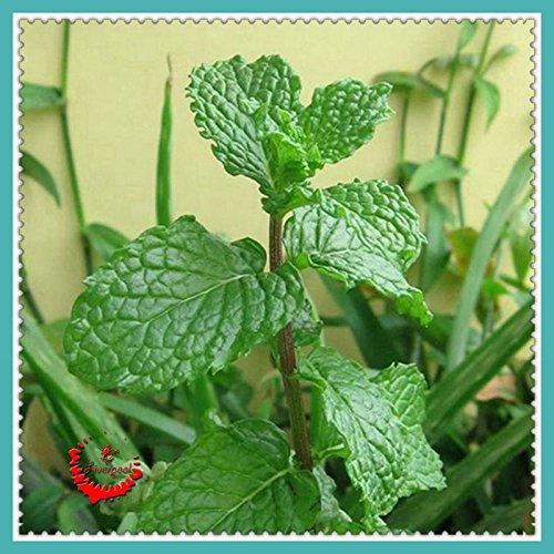 1 Sac 400 graines / Sac frais Pick-Vert Mint Herb Seeds Facile à cultiver