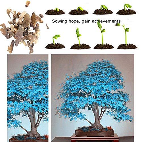 30 Pezzi Semi Di Acero Blu Pianta Decorativa Mini Paesaggio Giardino Cortile Bonsai Decorazione Blu Semi di albero di acero