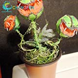La venda calenta *100pcs Llavor de plantes en test insectívor *Dionaea gegants Clip Llavors del *atrapamoscas de Venus de l'enviament lliure de la planta carnívora