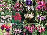 Trailing Fuchsia Mixed Collection 10 plug plants