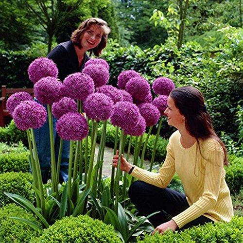 Pinkdose Giant Allium Globemaster Allium Giganteum Flower Seeds Organic Gorgeous Flower,Easy Growing, Long Blossoming, 50 Pcs/Bag