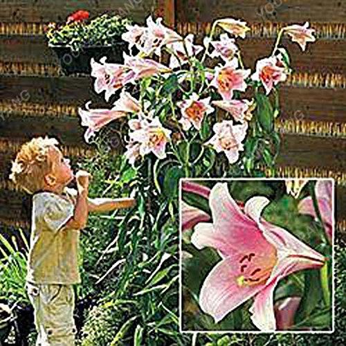 Promotion!! 100 pcs/sac géant Lily Graines pas cher Lily Graines de fleurs Barbade Lily en pot Graine Bonsai Balcon Fleur Livraison gratuite Violet