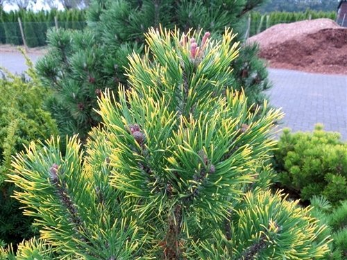 YELLOW POINT MUGO PINE - Pinus mugo 'Yellow Point' SPECTACULAR DUSKY GREEN NEEDLES WITH YELLOW TIPS - 2 - YEAR PLANT