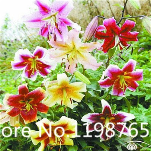 100pcs Lilien Samen Hemerocallis Desperado Samen Hemerocallis Fulva Tag-Lilie Blumen Samen Boden Abdeckung Pflanze Samen