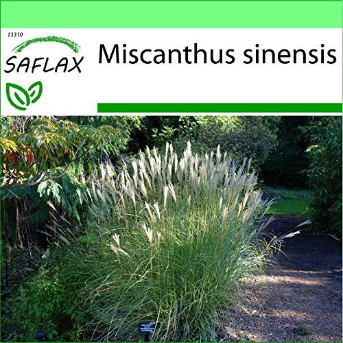 SAFLAX - Jardin dans la boîte - Roseau de Chine - 200 graines - Miscanthus sinensis