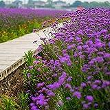 Flores Paisaje para cercas,Flores de Semillas de Verbena mar jardín vegetación Flores-Hoja de Sauce 0.5kg,Maceta para Plantas de jardín/Interiores
