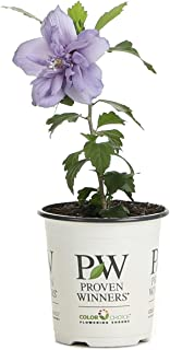 Best blue hibiscus flower Reviews