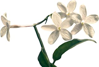 """White Hardy Jasmine - Jasminum Officinale   Fragrant White Blooms - 1 Fully Rooted Starter Plant in 2.5"""" Pot   Ships from ..."""
