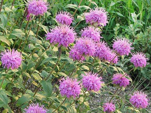 200+ Wild Bergamot Seeds Heirloom Non-GMO Fragrant Mintleaf Bee Balm Oswego Tea Monarda fistulosa menthifolia from USA