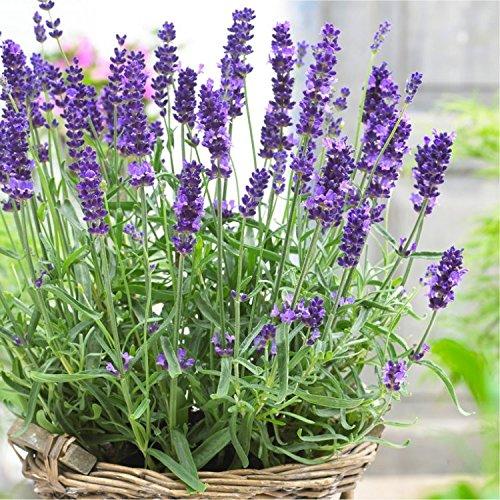 indoor flowering plants low light -Lavender
