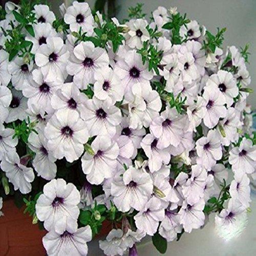 Doubleer Graines de fleur de pétunia résistant à froid facile à germer des graines de plantes en pot 100pcs