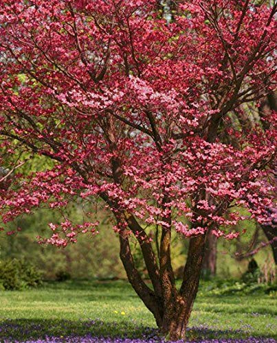 Pixies Gardens Red Dogwood Tree Gorgeous Ruby Red Blooms in Spring. in Fall Leaves Turn Stunning Shades of Bright Scarlet Burgundy and Amber. Ruby Red Fruit in Late Fall. (1 Gallon, Bare Root)