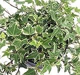 Glacier English Ivy - Hedera - 4' Pot - Easy to Grow, Indoors