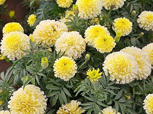 Semillas de vainilla francesa Marigold - Tagetes erecta nana fl. Pl