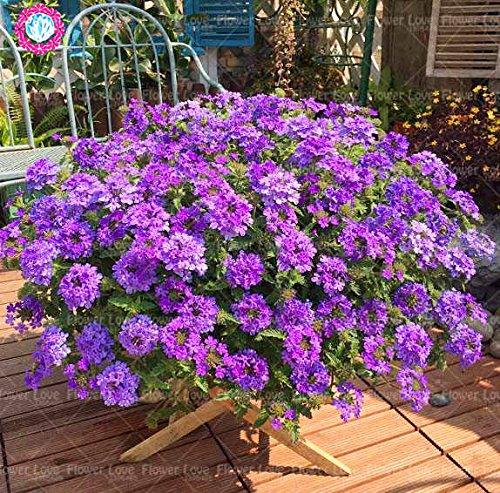 Graines de Purple rares 50pcs Verveine, Verveine HORTENSIS, Verveine Hybrida Rare Bonsai Graines de fleurs Plantes d'intérieur Balcon pour jardin 7
