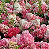 Hortensia paniculé « Vanille Fraise »   Hydrangea Paniculata rose-blanc   Arbuste fleuri   Hauteur 15-20cm   Pot Ø 12cm